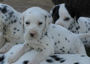 DALMATIAN PUPPIES FOR SALE  @ ANSHUKENNEL, , ,